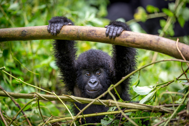 baby-gorila-inside-virunga-national-park_71041-12