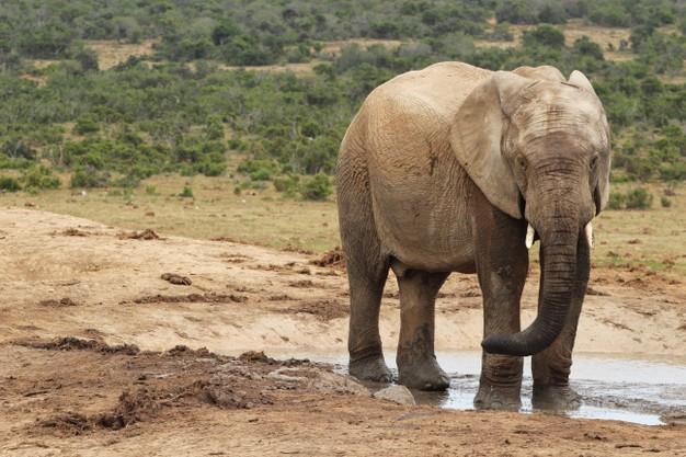 wet-muddy-elephant-playing-around-puddle-water-jungle_181624-10837